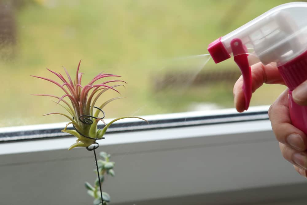 Complete Guide To Watering Air Plants 2021 Tips Tricks